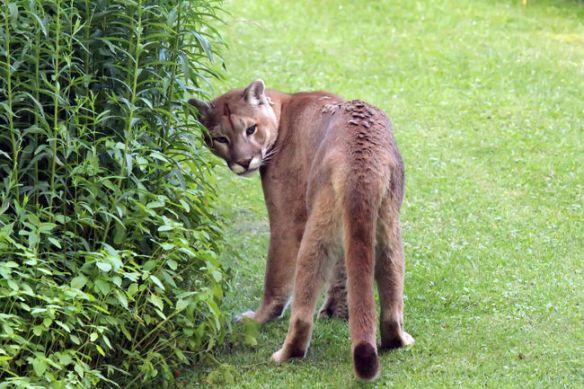 Cat In Backyard big cat in the backyard |