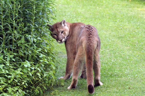 ougars, Mountain Lions, Ontario, Canada, Cougar in the backyard, Grafton Ontario, Port Hope Ontario, First Cougar live trapped in Ontario, Cougar trapped in Ontario was a pet, Zoo sauvage de Saint-Feelicien in Quebec
