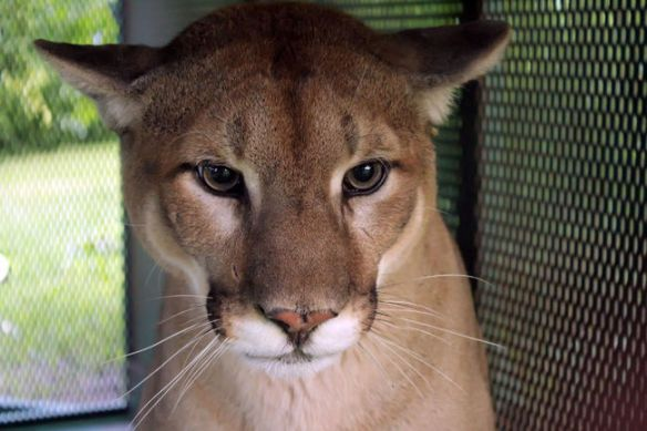 Cougars, Mountain Lions, Ontario, Canada, Cougar in the backyard, Grafton Ontario, Port Hope Ontario, First Cougar live trapped in Ontario, Cougar trapped in Ontario was a pet, Zoo sauvage de Saint-Feelicien in Quebec