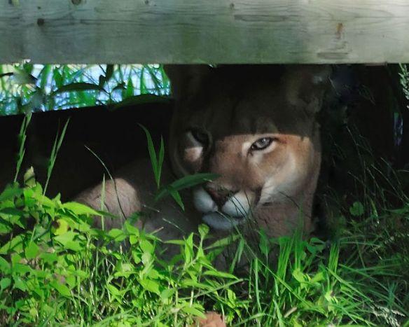 cougars toronto