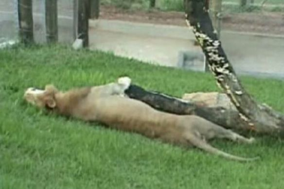 Lions, Big Cats, Lions in circuses, Ban wild animals in circuses, Lion feels the grass under his feet for the first time, Will the Lion, Brazil, Rachos dos Gnomos animal sanctuary, Lions in captivity,