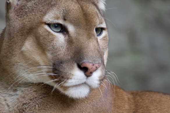 The Cougar, Book Review, Paula Wild, Mountain LIons, British Columbia, BC, Vancouver, Vancouver Island, Conservation, wildlife in Canada, Habitat, conservation, big cats in Canada, Save Mountain Lions