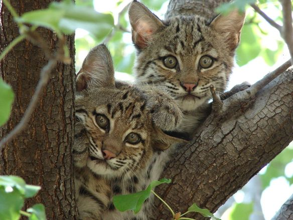Bobcat, Bobcat Kittens, Ancient Burial Mounds, Hopewell Culture, Illinois, 2000 year old burial mound, cats, Throw back Thursday, wild cats, Native American culture, domestication of cats, beloved pets, wildcats and native american culture,