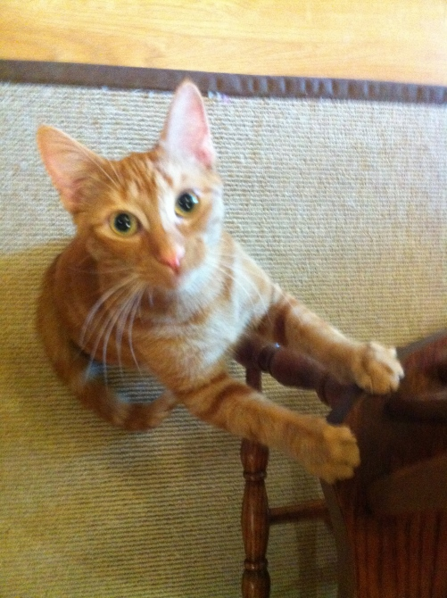 Orange Tabby, Female Orange Tabby cat, Cat sitting, Adventures in Cat sitting, Caturday, pet sitting,