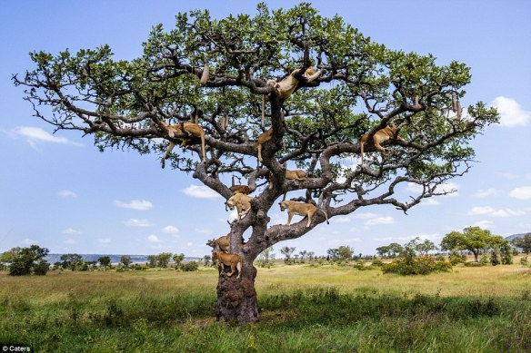 Lions, Lions in a Tree, Lion Pride in a Tree, Tree climbing Lions, Australian photographer Bobby-Jo Clow, central Serengeti,  Tanzania, Africa, Serengeti, Safari in Tanzania, Save Lions