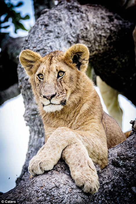 Lions, Lions in a Tree, Lion Pride in a Tree, Tree climbing Lions, Australian photographer Bobby-Jo Clow, central Serengeti,  Tanzania, Africa, Serengeti, Safari in Tanzania, Save Lions