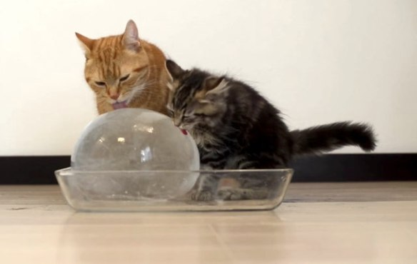 cats, kittens, Cats enjoying an ice ball, 10 cats licking a giant ice ball with a face, cat family, cute cat videos, caturday, DIY cat project, keep cats hydrated in the summer, how to get your cat to drink water,