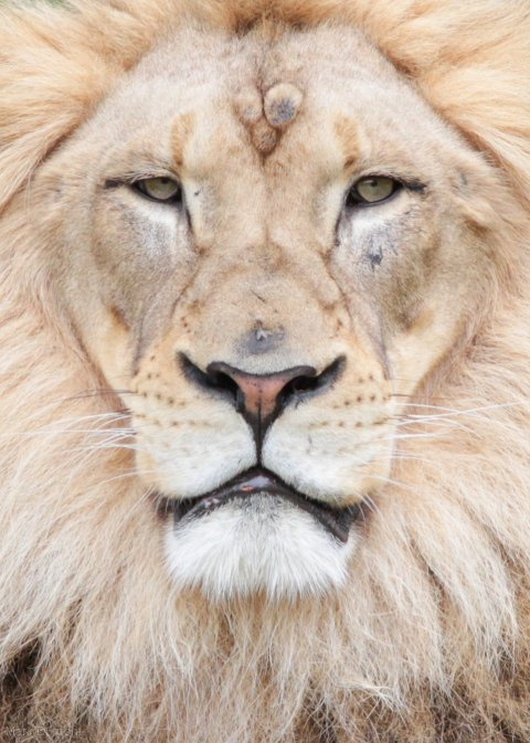 Lions, Africa , Kenya, Lions in Kenya, Lion Facial Recognition technology, Lion Guradians, Lion Identification Network of Collaborators, Wildlife researchers, tracking lions, distinctive faces, identifiying lions by faces, conservation, save lions, endangered species, understanding lion behavior