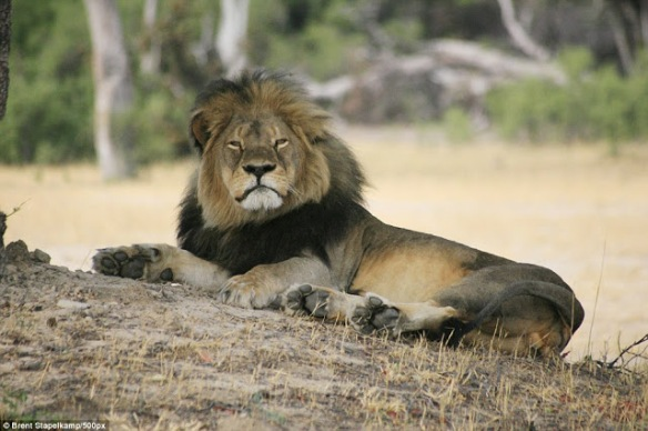 Cecil the Lion, Cecil, RIP Cecil, the Cecil Factor, Zimbabwe, Africa, Lions on the verge of extinction, Save Lions, Ban trophy hunting, Ban canned hunting, Hwange, Hwange National Park, Walter Palmer, US trophy hunters, Major Airlines ban animal trophies,