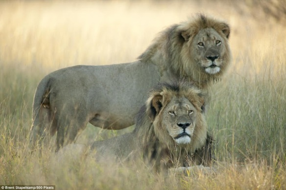 Cecil the Lion, Cecil, RIP Cecil, the Cecil Factor, Zimbabwe, Africa, Lions on the verge of extinction, Save Lions, Ban trophy hunting, Ban canned hunting, Hwange, Hwange National Park, Walter Palmer, US trophy hunters, Major Airlines ban animal trophies, Jericho the lion, Cecil and Jericho