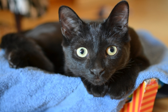 black cats, cat rescue, Cats in Toronto, Adopt dont Shop, Caturday, Cats Are Family, Little Lions, Cats of the Internet, Lets Talk About Your Cat, Purr and Roar, Catruday, Black cats are awesome, Toronto Cats, Adopt black cats, Cats as teachers,