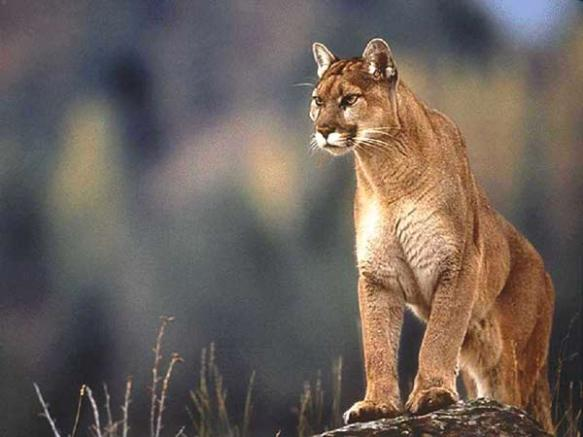 The Cougar Fund, Mountain Lions, Cougars, Save Cougars, Washington, Washington Department of Fish & Wildlife Commission, Puma concolor, Americas Lion, Save Mountain Lions, Ban Trophy Hunting, Urge Governor Inslee to reverse the undemocratic and arbitrary cougar-quota decision, Speak up for Mountain Lions, save habitat, conservation, living with wildlife