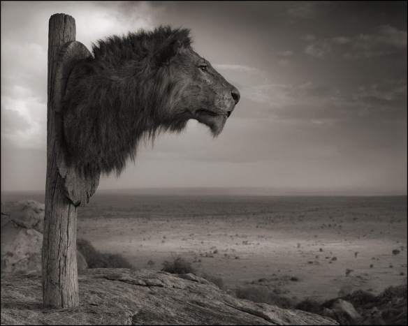Cecil the Lion, Lions, Save Lions, Walter Palmer, Ban trophy hunting, ban sport hunting, killing is not conservation, Africa, Lions close to extinciton, Cecils Law, List the Lion as Endangered, Endangered Species, Ban import of Lion trophies into the USA, South Africa, Zimbabwe, Nick Brandt, Photography, Across the Ravaged Land