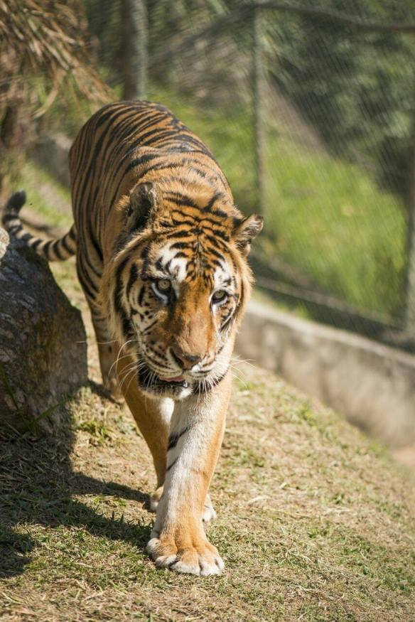 Tigers, Circus Tigers, Tiger rescue, Ban wild animals in circuses, big cats do not belong in the circus, Paru the tiger, Ranchos dos Gnomos, Brazil, Animal Sanctuary,