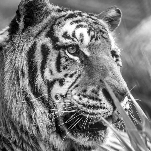 Bengal Tigers, Tigers, Circus Tigers, Tiger rescue, Ban wild animals in circuses, big cats do not belong in the circus, Paru the tiger, Ranchos dos Gnomos, Brazil, Animal Sanctuary,