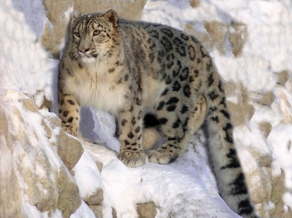 International Snow Leopard Day 2015, Snow Leopards, Endangered Species, big cats, Panthera uncia, Cats of Central Asia, Snow leopard habitat at risk from climate change, climate change, Nepal, Mongolia, Snow Leopard Trust, Snow leopards occur in the mountains of Afghanistan, Bhutan, China, India, Kyrgyzstan, Kazakhstan, Nepal, Mongolia, Pakistan, Russia, Tajikistan, listed in Appendix 1 of CITES, protect from climate change, habitat loss, poaching, beautiful and rare big cats, wild cats