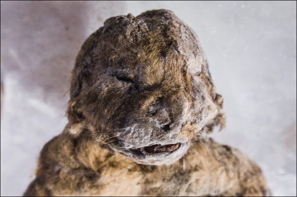 Cave Lions, Extinct Lions, Siberia, Russia, academy of Sciences of Yakutia, Pleistocene animals, Scientific Discovery, Ancient big cats, Panthera spelaea (Goldfuss), cave lions, preserved lion cubs,