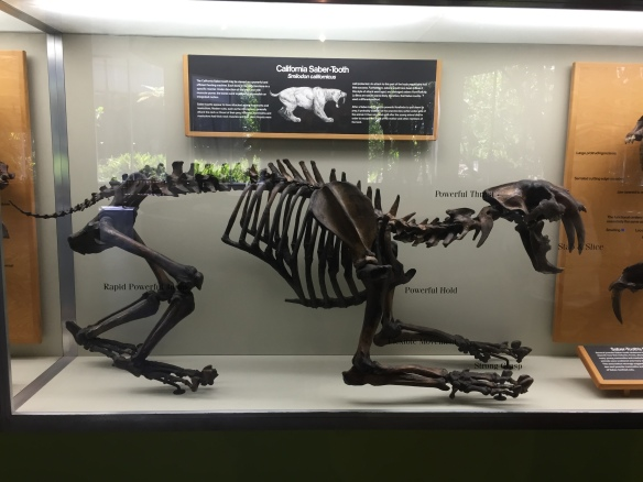 Smilodon Fatalis, California fossils, Prehistoric big cats, extinct cats, Saber-tooth Cat, Saber-tooth Tiger, Fossils, science, Pleistocene, La brea tar pits, Paige Museum, Travel, Los Angeles, California