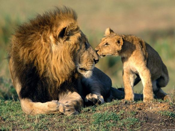 Lions, wildlife conservation, Africa, Ethical Tourism, Travel, Photographic toursim, save lions, save wildlife, save habitat