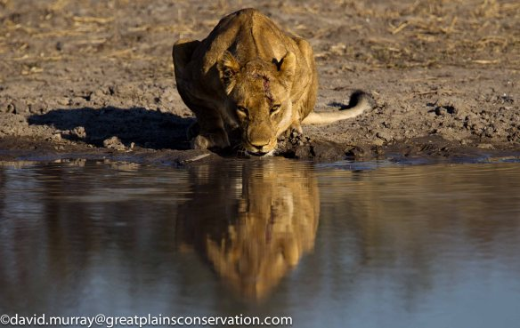 Lions, wildlife conservation, Africa, Ethical Tourism, Travel, Botswana, Great Plains Selinda Concession, Photographic toursim, save lions, save wildlife, save habitat