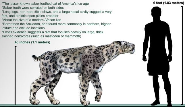 Panthera Atrox, American Lion, Giant Jaguar,Smilodon, California fossils, Prehistoric big cats, extinct cats, Saber-tooth Cat, Saber-tooth Tiger, Fossils, science, Pleistocene, La brea tar pits, Page Mueseum, Homotherium Serum, Scimitar Cat,
