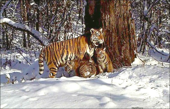 Cinerderalla, Cinderella's Cubs, IFAW,Tigers, Amur Tigers, Family Portrait of Amur Tigers, First ever photo to include an an adult male Amur tiger, Russia, Sikhote-Alin Biosphere Reserve, Wildlife Conservation Society, Endangered Tigers, Wildlife conservation, Save Tigers, Stop poaching of TIgers, Save Tiger Habitat,Tigers in China, China's Tiger Bone Trade, TIgers in Russia, Illegal Tiger Skin Trade, TCM breeding Tigers to die, Siberian Tigers, the Zolushka experiment, Orphan Tiger Cub