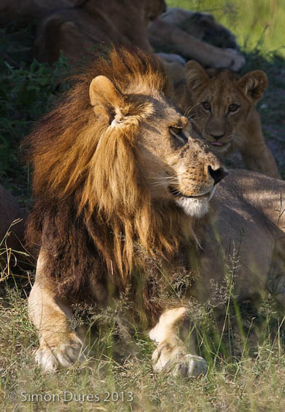 Lions, Maned Lioness, Botswana, Moremi Game Reserve, Okavango Delta, Mombo area of Botswana's Okavango Delta, Travel, Tourism, Photographic Safaris, Africa, conservation, Save Lions, genetics, female Lions with manes