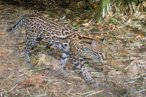 Ocelots, Jeff Cremer, Camera traps, Hair traps, wildlife Phototograhy,tracking rare cats,