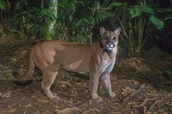 Puma, Mountain Lions, Jeff Cremer, Camera traps, Hair traps, wildlife Phototograhy,tracking rare cats,