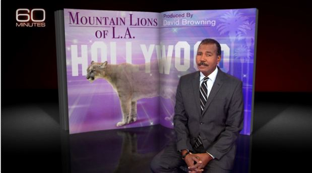 60 minutes, California, Griffith Park, LA, Mountain Lions of LA, P22, Save LA Cougars, Urban Wildlife, Wildlife Crossings