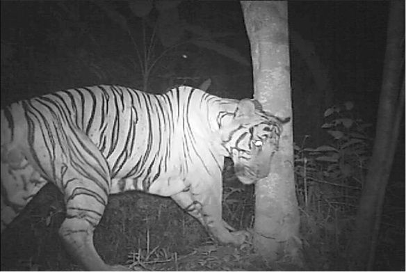 Camera traps, Hair traps, wildlife Phototograhy,tracking rare cats, Malyasia, Tigers, Clouded leopards