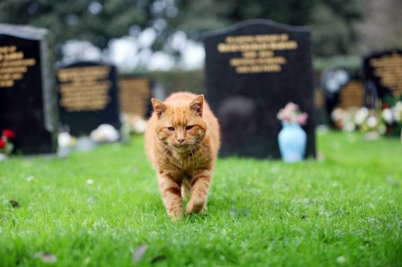Barney the Cemetery cat, UK, Therapy cat, Cat comforts mouners, UK Cemetery, cats as healers, cats help cemetery mourners in UK, Ginger moggy Barney lived at St Sampson's Parish cemetery dies, beloved cemetery cat dies, cats are guardian angels