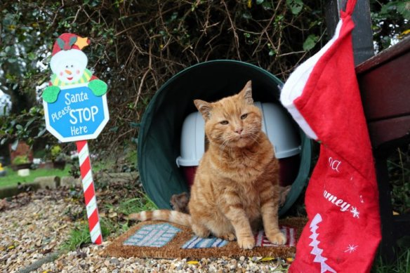 Barney the Cemetery cat, UK, Therapy cat, Cat comforts mouners, UK Cemetery, cats as healers, cats help cemetery mourners in UK, Ginger moggy Barney lived at St Sampson's Parish cemetery dies, beloved cemetery cat dies