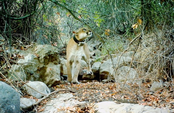 California, Griffith Park, Hollywood Hills Cougar, Los Angeles, P22, Save LA Cougars, Urban Wildlife, Wildlife Crossings, Living with wildlife, Conservation, Mountain Lions,