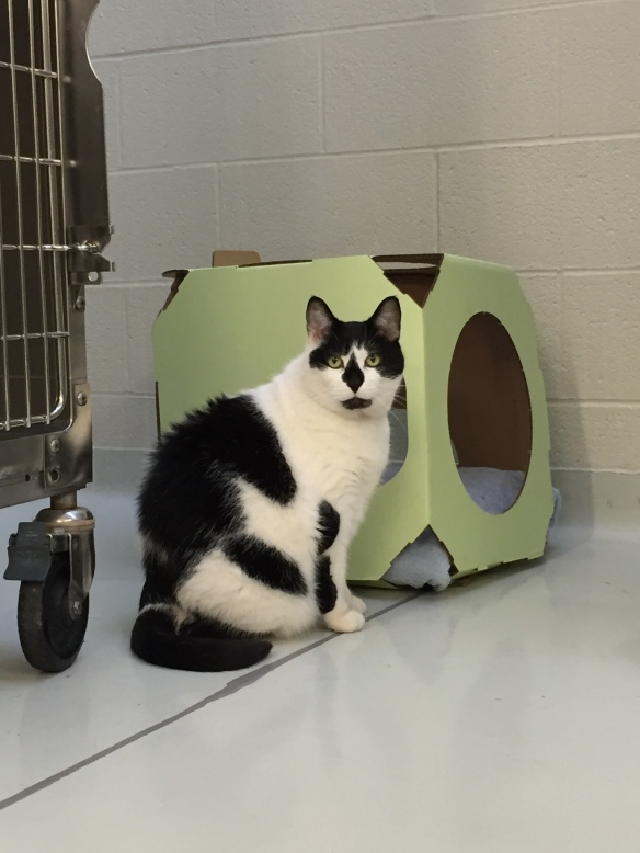 cats, adopt don't shop, Toronto Cats, Cats for adopttion, Toronto Animal Services, spay and neuter cats, adopt save a life, Cats of Toronto, cat rescue, Senior cats, older cats make great companions, black and white cats, shelter cats rule