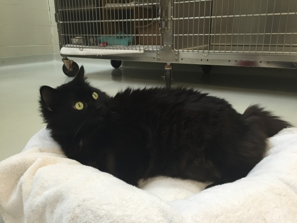 cats, adopt don't shop, Toronto Cats, Cats for adopttion, Toronto Animal Services, spay and neuter cats, adopt save a life, Cats of Toronto, cat rescue, Senior cats, older cats make great companions, black cats, shelter cats rule