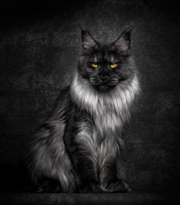 Robert Sijka, Maine Coon, Domestic cats, Photography, Cat Photography, House cats that look like wild cats, Cat breeds, black cats