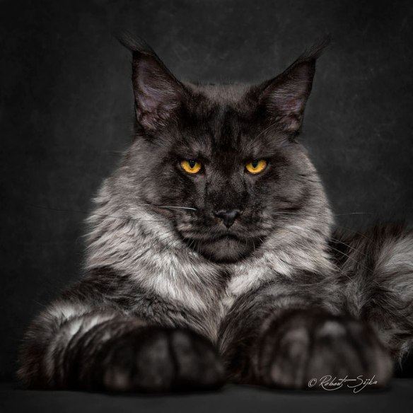 Robert Sijka, Maine Coon, Domestic cats, Photography, Cat Photography, House cats that look like wild cats, Cat breeds,