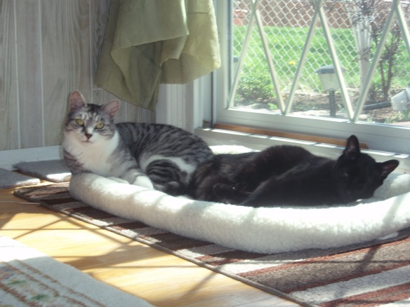 cats, pet loss, pets with cancer, cats with cancer, saying goodbye, cats are family, adopt don't shop, silver tabby, black cats