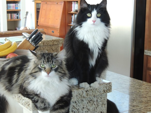 Norwegian Forest Cats, Cats of California, Cats Are Family, Little Lions, Cats of the Internet, Lets Talk About Your Cat, Purr and Roar, Catruday, Cats as teachers, cats of San Diego