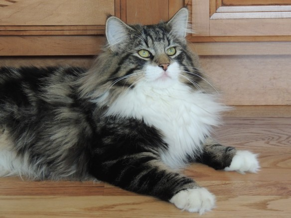 Norwegian Forest Cats, Cats of California, Cats Are Family, Little Lions, Cats of the Internet, Lets Talk About Your Cat, Purr and Roar, Catruday, Cats as teachers,