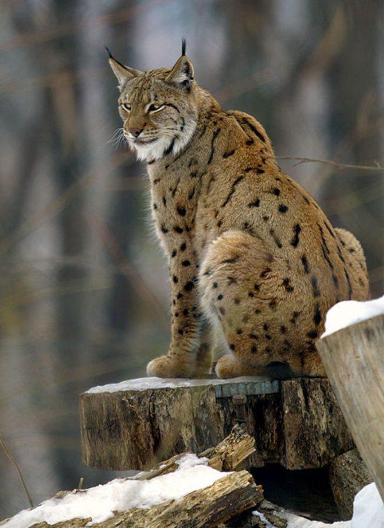 Fence, Border Wall, U.S. Mexico, wildlife, pumas, ocelots, coati, jaguar, environment, biodiverstiy, extinction, bobcats, Eurasian Lynx, Lynx, Europe, Asia