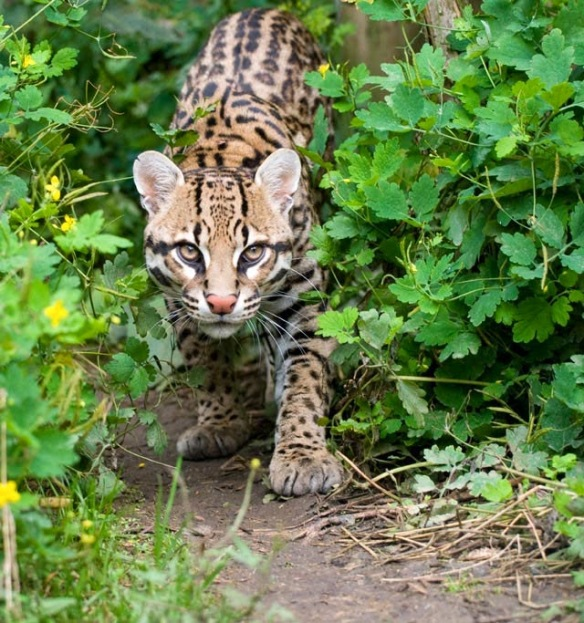 Fence, Border Wall, U.S. Mexico, wildlife, pumas, ocelots, coati, jaguar, environment, biodiverstiy, extinction,
