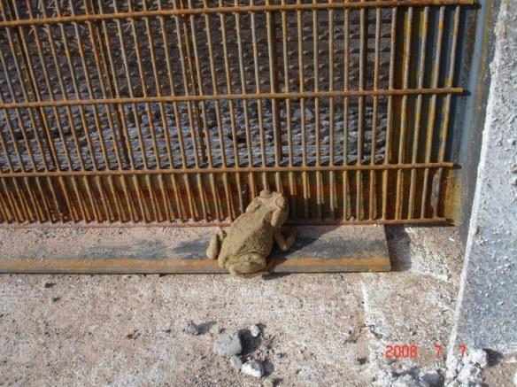 Fence, Border Wall, U.S. Mexico, wildlife, pumas, ocelots, coati, jaguar, environment, biodiverstiy, extinction, bobcats, amphibians, toads