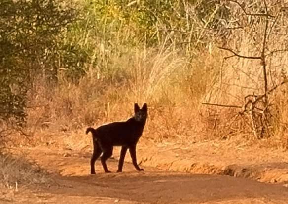 Melanistic serval, Serval, Africa, travel, ethical travel, safari, East Africa, Mkomazi National Park, wild cats, conservation, ecotourism,Tanzania