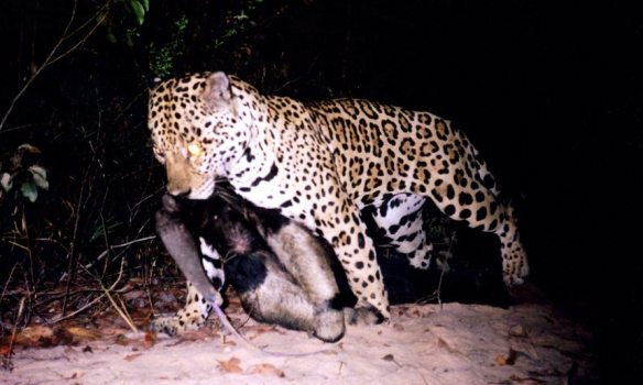 Jaguar, big cats, endangered species, South America, Largest cat in South America, Brazil, Cerrado, Camera Traps, Giant Anteaters, prey