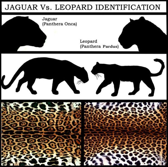Jaguar, leopard, big cats, endangered species, South America, Largest cat in North America,