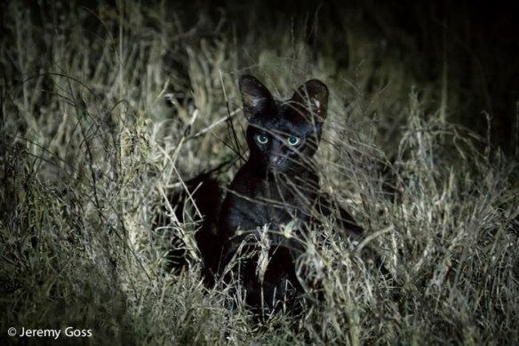 Melanistic serval, Serval, Africa, travel, ethical travel, safari, East Africa, Kenya, wild cats, conservation, ecotourism, Jeremy Goss, wildlife photography