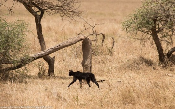 Melanistic serval, Serval, Africa, travel, ethical travel, safari, Amboseli National Park, wild cats, conservation, ecotourism,