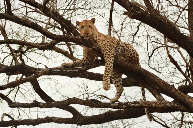 Leopards, big cats in trees, leopards love heights, africa, zambia, south luangwa, salt pan, graceful cats, wildlife photography